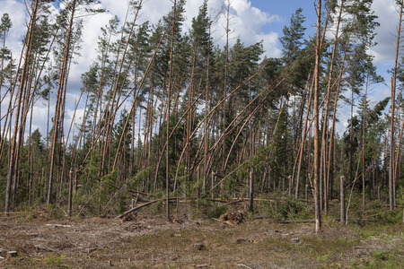 Forest after storm. Forest characteristic for pine forests of northern Europe: Sweden, Finland, Baltic states etc. and Russia. Fallen trees, storm damage. Windfall.