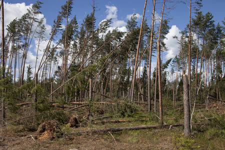 storm damage: Winfall in forest. Forest characteristic for pine forests of northern Europe: Sweden, Finland, Baltic states etc. and Russia. Fallen trees, storm damage. Windfall.