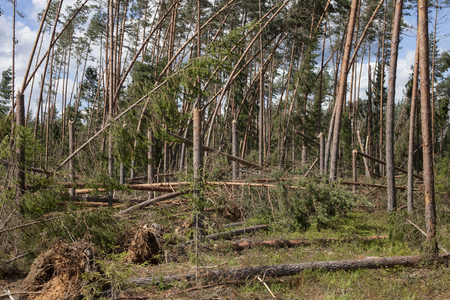 Pine forest after storm. Fallen trees, storm damage. Windfall.