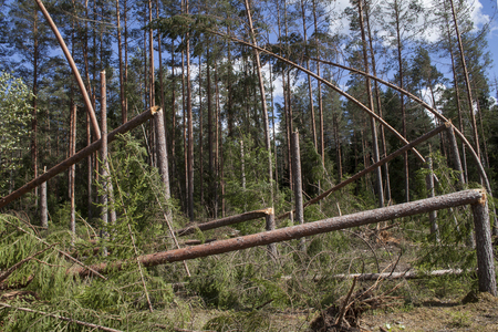 storm damage: Forest after storm. Fallen trees, storm damage. Windfall. Stock Photo