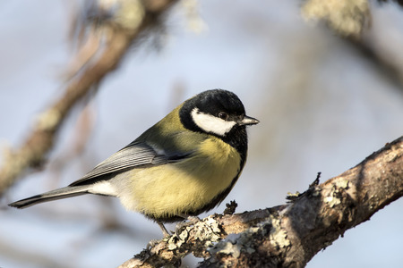 Great Tit (Parus major) on a tree branch in sunny winter day.