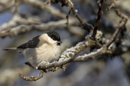 Small bird - Marsh Tit (Poecile (sin. Parus) palustris). It is IUCN Red List specie. Distributed in Europe, UK, east Asia. Winter, snow on the branches. Wildlife in garden.