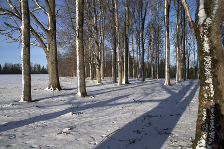 Peaceful oak tree forest in sunny morning after a snow storm. Cold winter day.