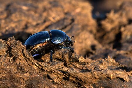 Dung beetle Geotrupes stercorarius on the manure.