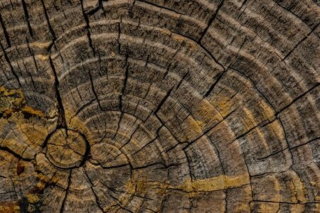 Tree rings and cracks in old gray to yellow pine tree end. Stock Photo