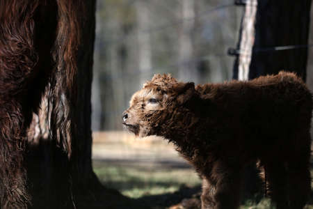 Just born Scottish highland cattle calf Stock Photo