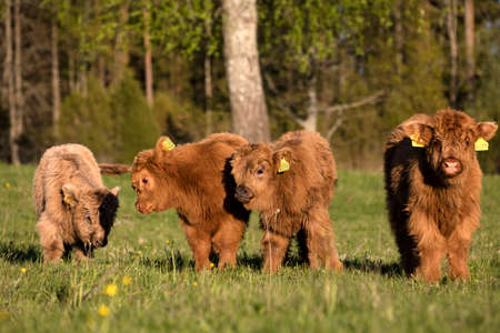 Scottish highland cattle calves staring at camera