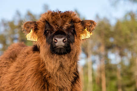 Scottish highland cattle calf staring at camera