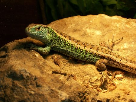 warms: picture presents the lizard, which warms the stone.