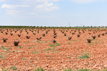 Vineyards without leaves