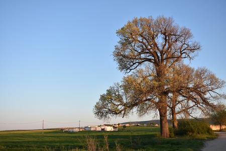 mancha: Big tree Stock Photo