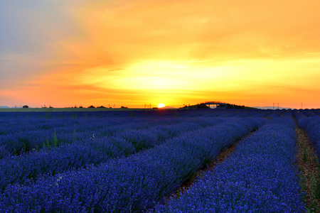 castilla: Lavender fields at ground level at dusk