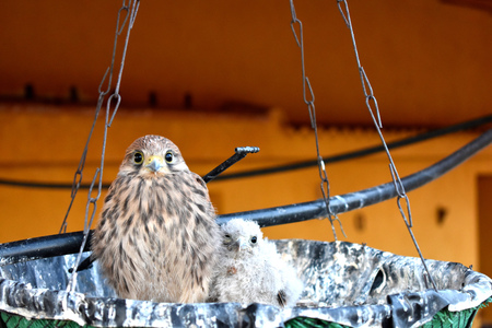 Two kestrels pose in a peculiar nest Imagens