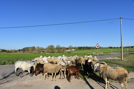 A flock of sheep and goats appears on a country road in winter