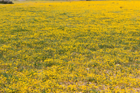 Carpet of small yellow flowers grow in the field, they are very pretty and cheerful