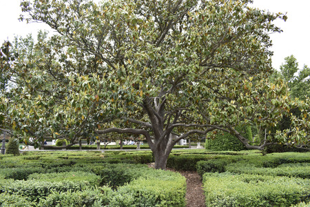 Beautiful large tree grows in gardens very well cared for by the gardener
