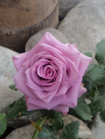 Beautiful violet and vintage-style roses grow in the garden of remembrance. 版權商用圖片