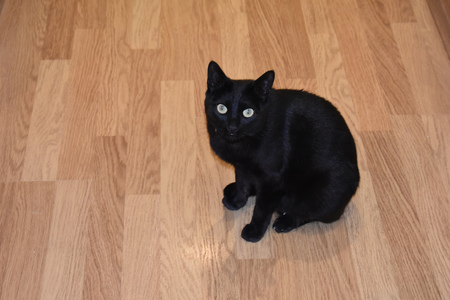 A black cat waiting sitting on a wooden floor is waiting for his master 版權商用圖片