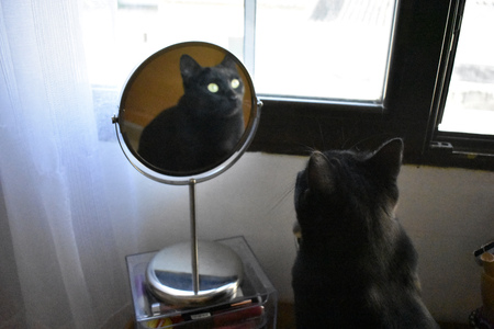 A smug black cat looks in the mirror like an evil witch 版權商用圖片