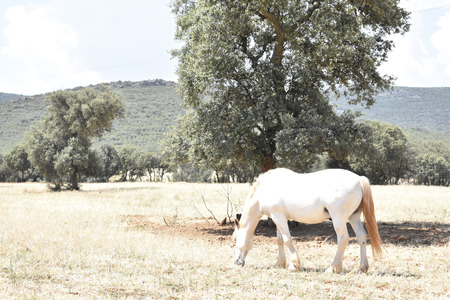 An albino horse grazing by the ranch in summer