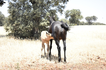 A mare feeds her colt on the ranch in summer