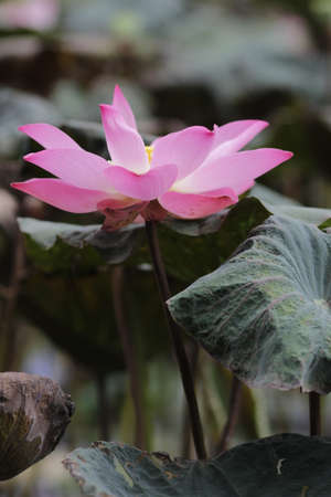 Natural photos: Lotus flowers. The author took a series of photos of se se flowers in Tam Da lotus lagoon (District 9, Ho Chi Minh City). Now the lotus season is very beautiful. The whole lotus field