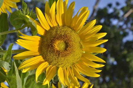 Natural macro photo: a bee smoking sunflower nectar (Viet Nam)