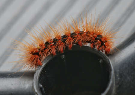 Orange and Black Hairy Caterpillar