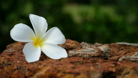 Frangipani on the brown brick.