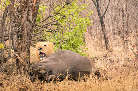 food chain: Lion ready to eat a buffalo after hunting in the bush woods in South Africa savannah - Concept of nature laws and wild food chain