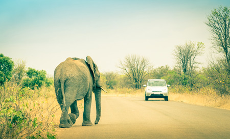 wildlife reserve: Elephant crossing the road at safari park - Concept of connection between human life and wildlife animal - Free animals in nature game reserve in South Africa Stock Photo