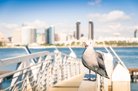 san diego: Seagull at San Diego waterfront with skyline view - Skyscrapers from Coronado Island in California - United States