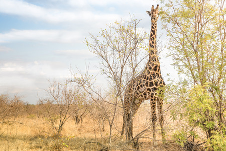 chobe national park: Giraffe comouflaging behind trees at safari park -  Free wildlfie animals in real nature game reserve in South Africa - Warm afternoon color tones Stock Photo