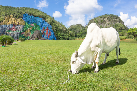 prehistory: White bull resting and grazing on meadow in front of Mural of Prehistory at Val Vinales in west region of Cuba Island Stock Photo