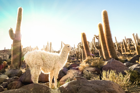 White llama at cactus garden by Isla Incahuasi in Salar de Uyuni - Nature wonder travel destination in Bolivia South America - Wanderlust and animal concept with wildlife lama on warm backlight filter Stockfoto