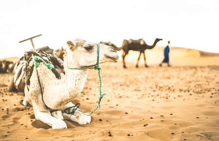 Tamed dromedary resting after desert ride excursion in Merzouga area near Erg Chebbi dunes at beginning of Sahara in Morocco - Travel wanderlust concept with moroccan camel at sunset on warm filter