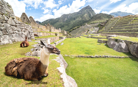 Brown and white lama resting on green meadow at Machu Picchu archaeological ruins site in Peru - Exclusive travel destination and natural wonder in peruvian world famous lost city