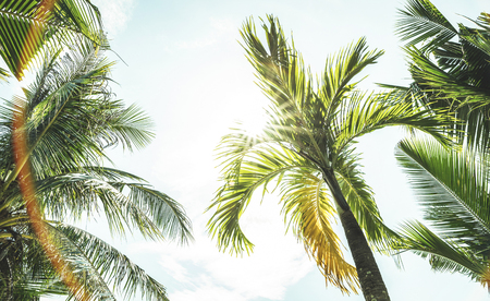 Bottom down view of coconut palm trees and sky from the beach point - Ko Samui in Thailand - Low angle view of exclusive destination theme in sunny day - Warm turquoise vintage filter Stok Fotoğraf