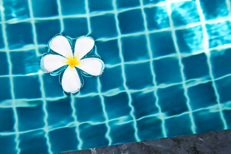 White plumeria floating in a swimming  pool of a Thai resort photo