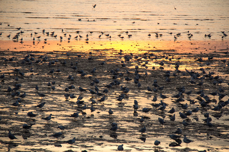 migrated: migrated seagulls stand and flying on the beach during sunset Stock Photo