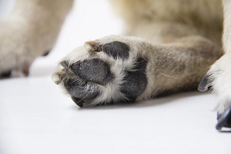 deadpan: pug on white background Stock Photo