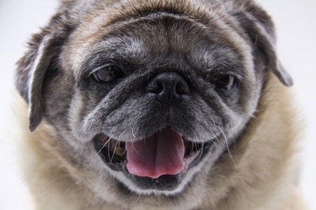 deadpan: pugs on white background Stock Photo
