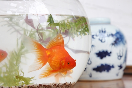 goldfish Stock Photo - 15446185