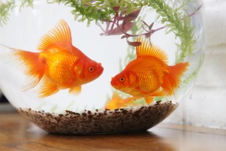 goldfish Stock Photo - 15446186