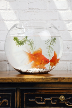 goldfish Stock Photo - 15446187