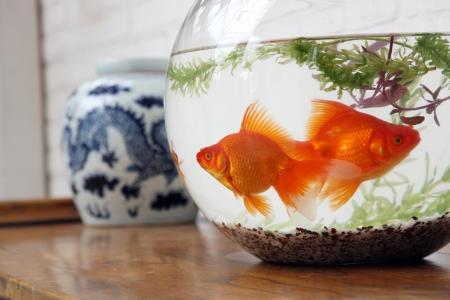 tank fish: goldfish Stock Photo