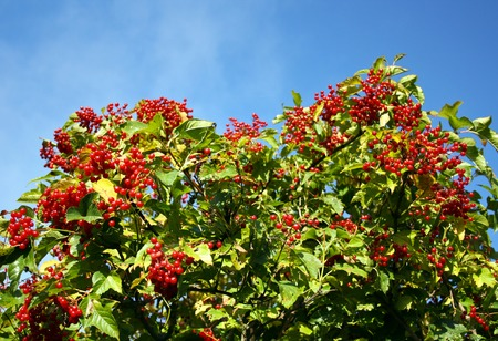 guelder rose berry: Bush of a ripe berry of a guelder-rose Stock Photo