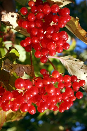 sorb: Bush of a ripe berry of a guelder-rose in wood Stock Photo