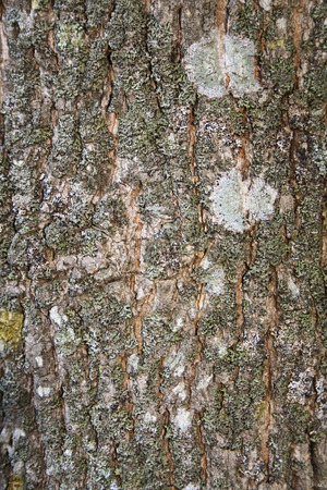 unpredictable: Bark of a tree with moss stains