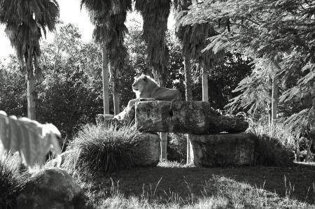vigilant: Vigilant lion rests atop rocks